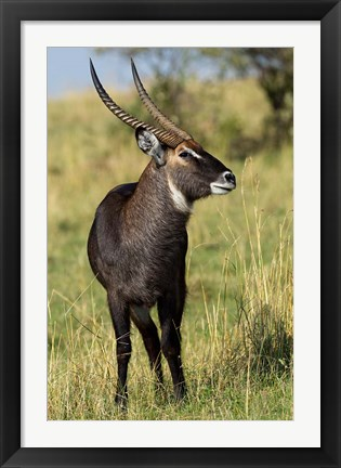 Framed Common Waterbuck wildlife, Maasai Mara, Kenya Print