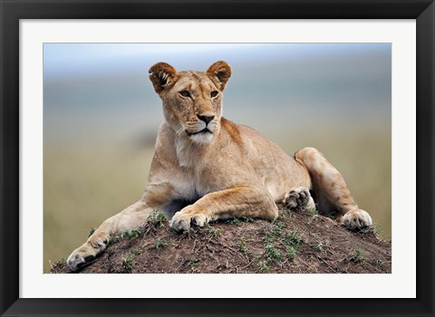 Framed Female lion on termite mound, Maasai Mara, Kenya Print