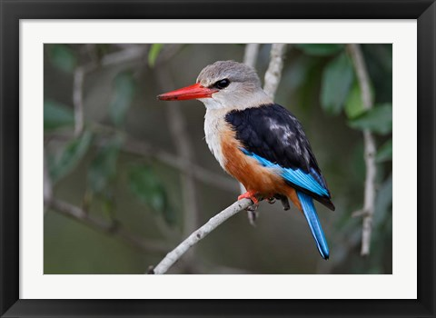 Framed Grey-headed Kingfisher bird, Maasai Mara, Kenya Print