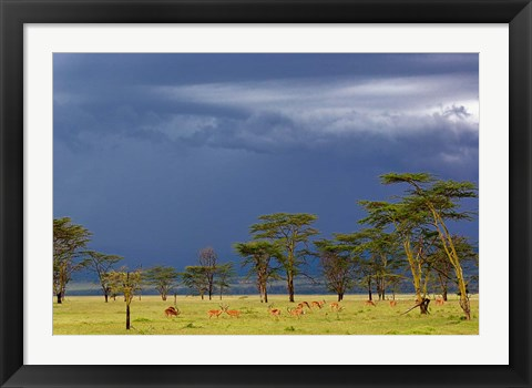 Framed Herd of male Impala, Lake Nakuru, Lake Nakuru National Park, Kenya Print