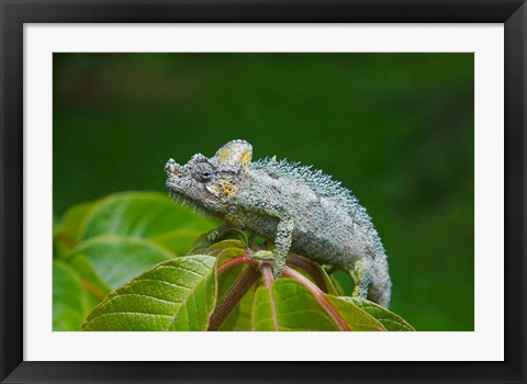 Framed Chameleon on leaves, Nakuru, Kenya Print