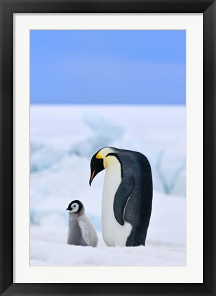 Framed Parent and chick Emperor Penguin, Snow Hill Island, Antarctica Print