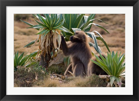 Framed Gelada Baboons With Giant Lobelia, Simen National Park, Northern Ethiopia Print