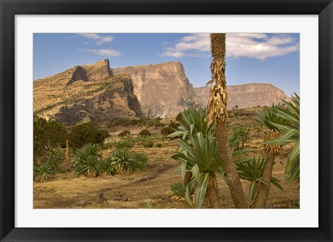Framed Giant Lobelia, Simen National Park, Northern Ethiopia Print