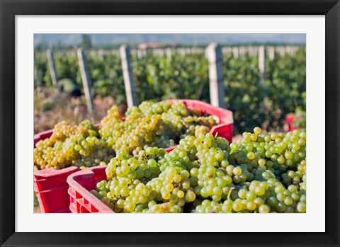 Framed Harvesting Chardonnay grapes in Huailai Rongchen vineyard, Hebei Province, China Print