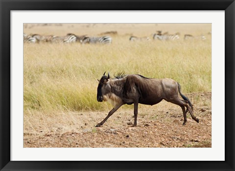 Framed Blue Wildebeest on the run in Maasai Mara Wildlife Reserve, Kenya. Print