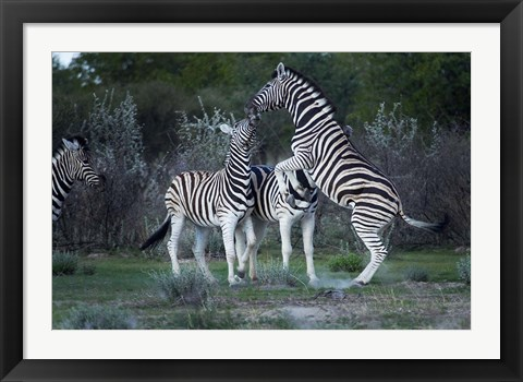 Framed Burchell's zebra fighting, Etosha National Park, Namibia Print