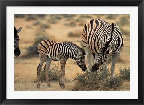 Framed Burchell's zebra foal and mother, Etosha National Park, Namibia Print