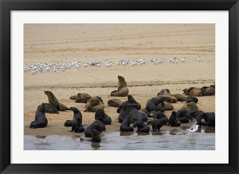 Framed Cape Fur Seal colony at Pelican Point, Walvis Bay, Namibia, Africa. Print