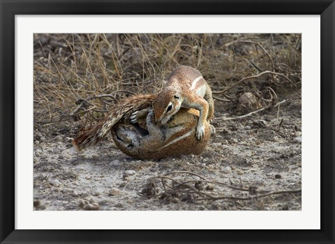 Framed Cape ground squirrels fighting, Etosha NP, Namibia, Africa. Print
