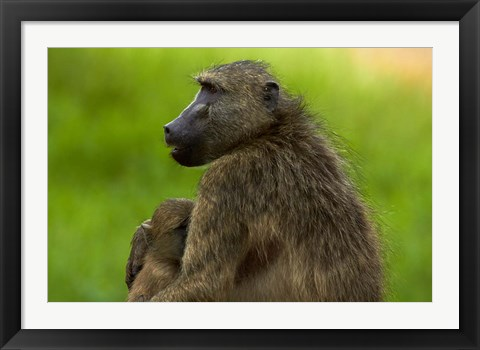 Framed Chacma baboon and baby, Kruger NP, South Africa Print