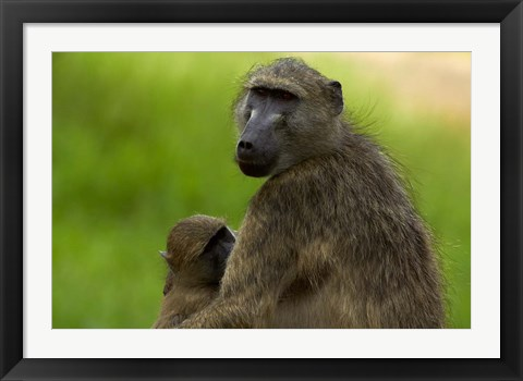 Framed Chacma baboon, Papio ursinus, and baby, Kruger NP, South Africa Print