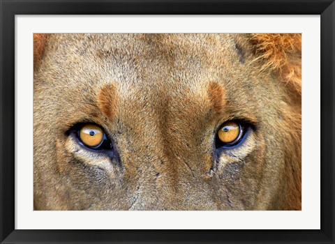 Framed Close-up of Male Lion, Kruger National Park, South Africa. Print