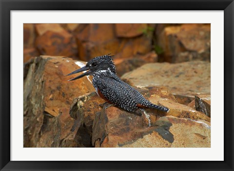 Framed Giant Kingfisher, Megaceryle maxima, Kruger NP, South Africa Print