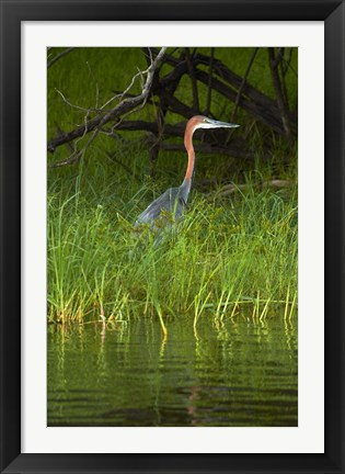 Framed Goliath Heron along the Zambezi River, Zimbabwe, Africa Print