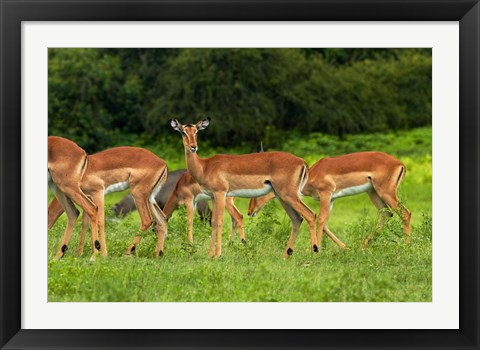 Framed Herd of Impala, by Chobe River, Chobe NP, Kasane, Botswana, Africa Print