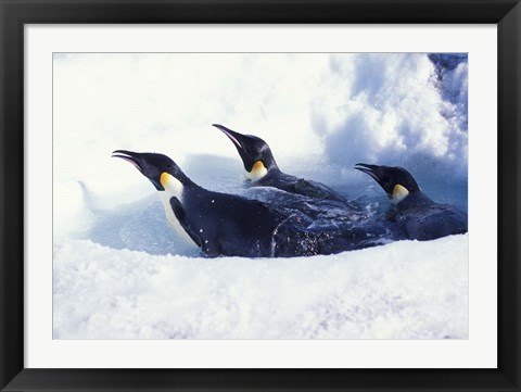 Framed Emperor Penguins in Dive Hole, Antarctica Print