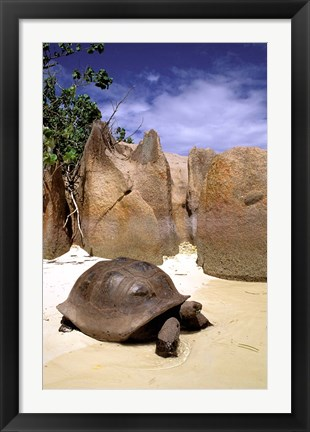 Framed Aldabran Giant Tortoise, Curieuse Island, Seychelles, Africa Print