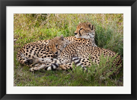 Framed Cheetahs, Serengeti National Park, Tanzania Print
