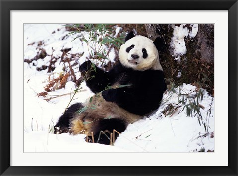 Framed Giant Panda With Bamboo, Wolong Nature Reserve, Sichuan Province, China Print