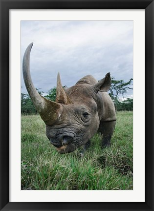 Framed Black Rhinoceros, Kenya Print