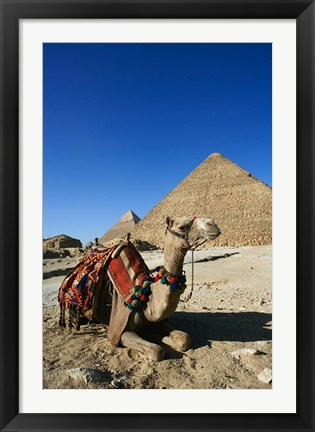 Framed Camel at Cheops, The Great Pyramid, Khafre or Chephren Print
