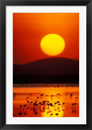 Framed Flock of Lesser Flamingos Reflected in Water at Sunrise, Amboseli National Park, Kenya Print