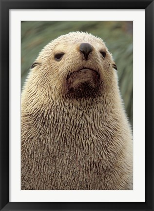 Framed Antarctic Fur Seal, White Morph, South Georgia Island, Antarctica Print