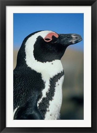Framed Close up of an African Penguin, Cape Peninsula, South Africa Print