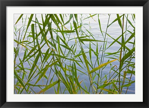 Framed Bamboo Growing Waterside, China Print