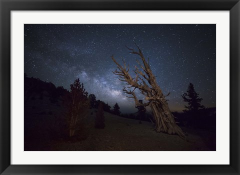 Framed large bristlecone pine in the Patriarch Grove bears witness to the rising Milky Way Print