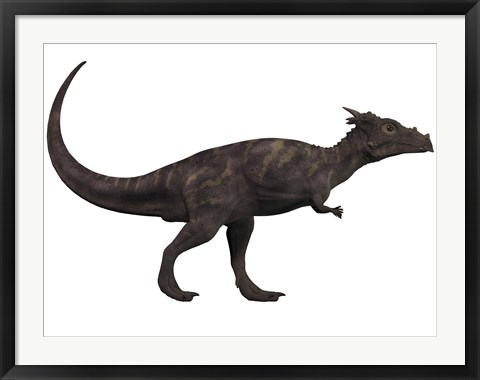 Framed Dracorex, a herbivorous dinosaur from the Cretaceous period Print