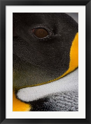 Framed King Penguin, Right Whale Bay, South Georgia Island, Antarctica Print