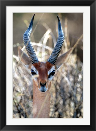 Framed Male Gerenuki with Large Eyes and Curved Horns, Kenya Print