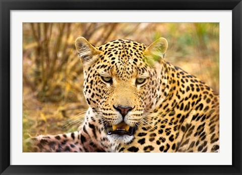 Framed Leopard Profile at Africat Project, Namibia Print