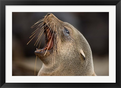 Framed Namibia, Cape Cross Seal Reserve. Close up of Southern Fur Seal Print