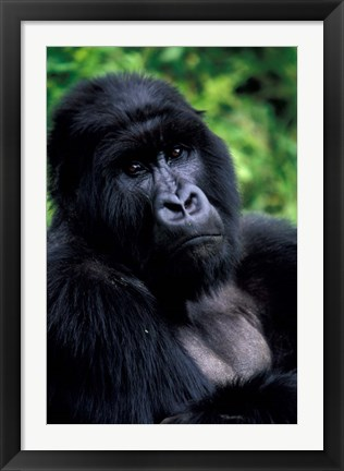 Framed Close up of Mountain Gorilla, Rwanda Print