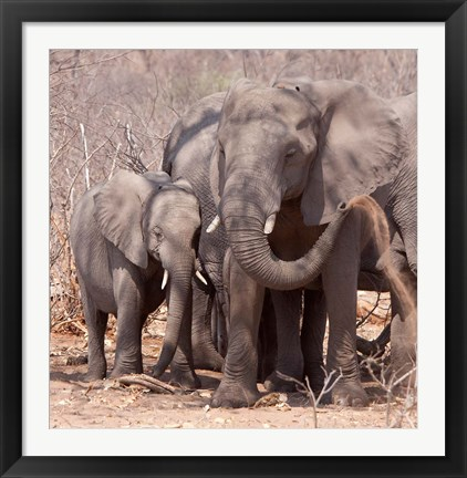 Framed Mother and baby elephant preparing for a dust bath, Chobe National Park, Botswana Print