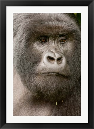 Framed Close up of a Mountain gorilla, volcanoes national park, Rwanda Print