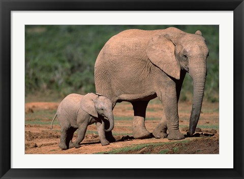 Framed South Africa, Addo Elephant NP, Baby Elephant Print