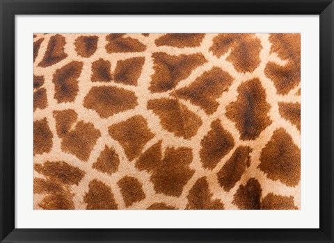 Framed Reticulated giraffe, Luangwa Valley, Zambia Print