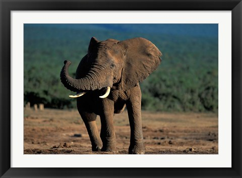 Framed South Africa, Addo Elephant NP, Angry Bull Elephant Print