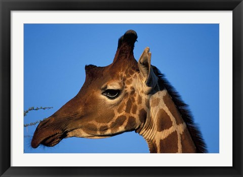 Framed Reticulated Giraffe, Kenya Print