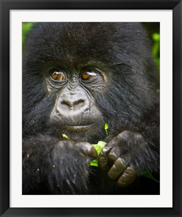 Framed Rwanda, Volcanoes NP, Close up of a Mountain Gorilla Print