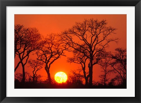 Framed South Africa, Kruger NP, Trees silhouetted at sunset Print