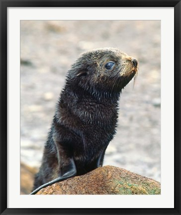 Framed Close up of fur seal pup Print