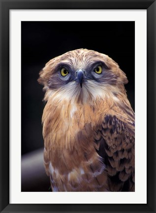 Framed South Africa. Spotted Eagle Owl (Bubo africanus) Print