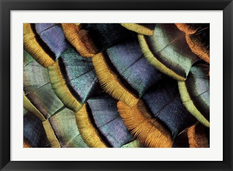 Framed South American Ocellated Turkey Print