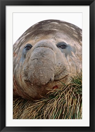Framed Southern Elephant Seal, bull during harem and mating season, South Georgia Print