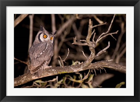 Framed Spotted Eagle Owl, Mpumalanga, South Africa Print